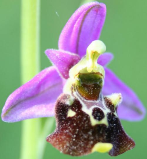 Avatar de Ophrys03