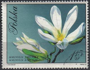 timbre: Magnolia Kobus